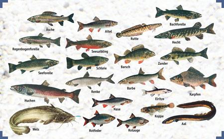 Sfv hilkenbrook fische von a z for Fische arten